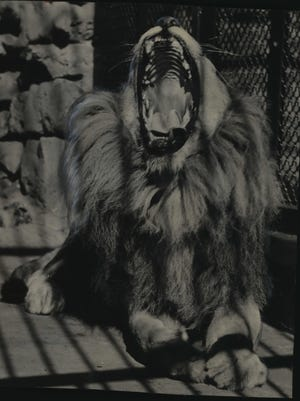 Shorty, the lion at the Washington Park Zoo who was mysteriously paralyzed in his hind quarters a few months ago, basks in the sun on Sept. 18, 1951. This photo was published in the Sept. 18, 1951, Milwaukee Journal.