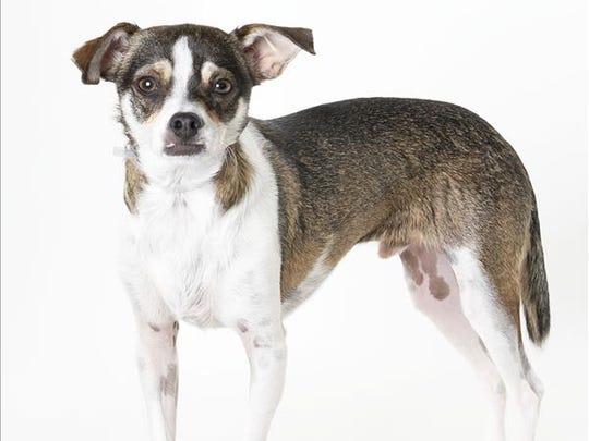 Payton, 1-year-old male Chihuahua mix dog. No. 86478.