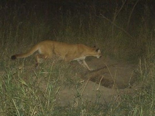 A mountain lion was spotted near Winterset in 2013.