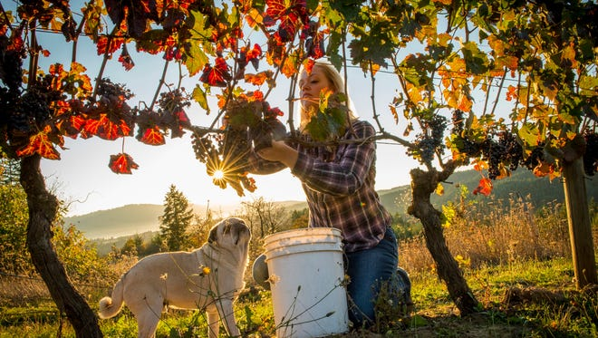 Kim Kramer harvests carmine grapes from vines planted in 1989.