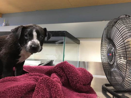 This photo provided by the Riverside County Department of Animal Services shows a dog that was rescued from inside a car with a temperature of 133 degrees in Riverside, Calif., in June.