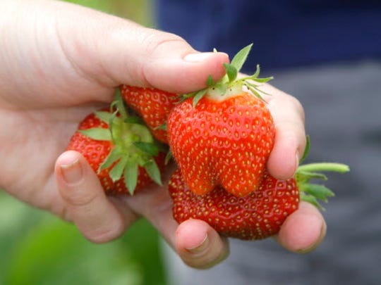 These strawberries were picked at Basse's Taste of