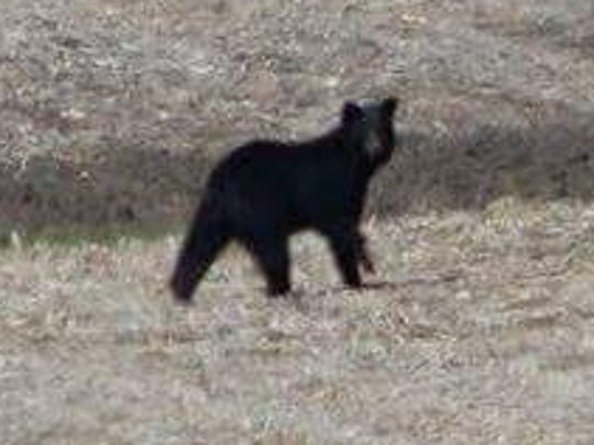 A bear was spotted in Tama County on Monday, April 17, 2017. There have been at least two confirmed sightings of a young bear in Butler and Grundy counties, the Iowa Department of Natural Resources said in a Facebook post.
