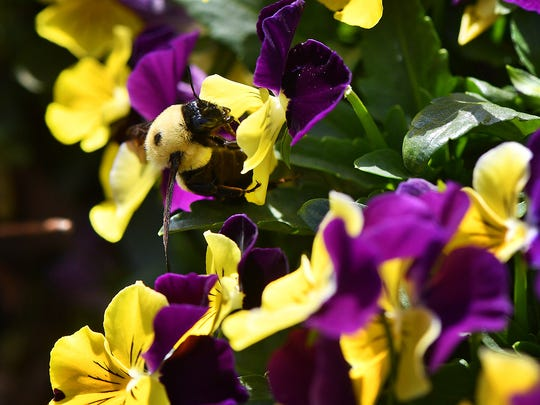 A black and yellow Bumble Bee blends in with bright yellow and purple pansies in Lucy Park.
