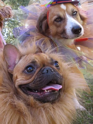 Meatball, dressed as a lion, and Chichi the Australian Shepherd are ready for their closeups dressed in the costumes they wore to the 12th annual Barktoberfest at Seville Square.
