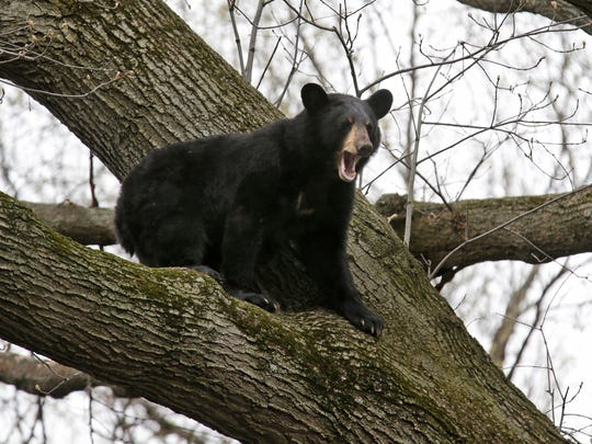 A bear crouches in a tree in a suburban area of Paramus,