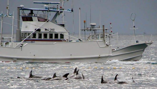 A fishing boat sails to catch dolphins off Taiji, Wakayama Prefecture, western Japan in Sept. 2009. (Minami Kishu Shimbun / Associated Press via Kyodo News)