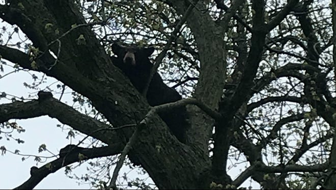 A black bear has been spotted in a tree in Grand Rapids.