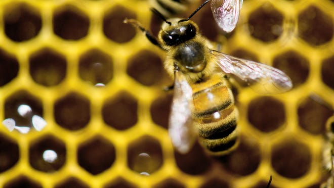 Honeybees have experienced dramatic declines over the past 60 years, imperiling crops, the White House said as it announced a new effort to save pollinator species.