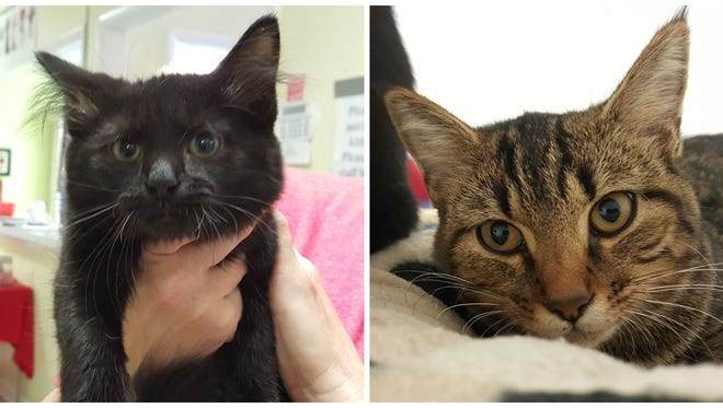 Pets like Freddie, left, and Prissy are available for adoption at the Humane Society of Sumner County.