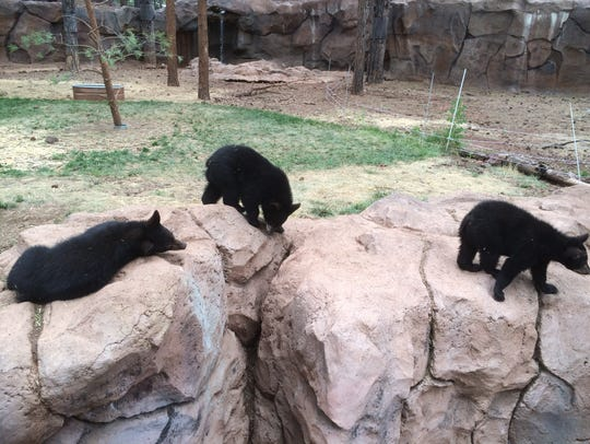 Bear cubs play within an enclosure in Fort Bearizona.