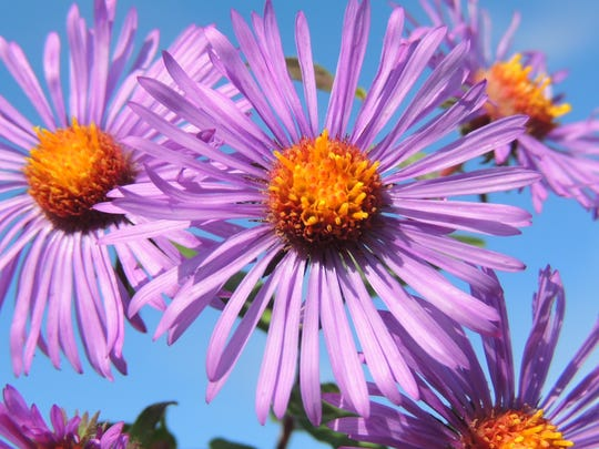 New England aster is a favorite among gardeners for its masses of colorful, rich purple blooms.