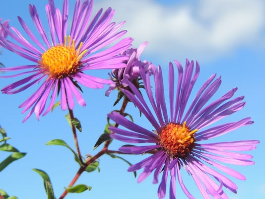 635792114238138995-Asters-4