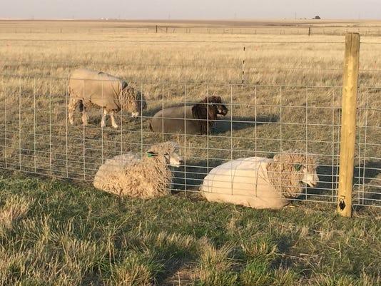 Jenn's sheep