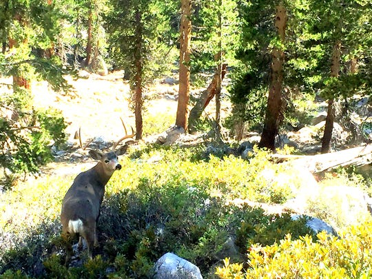 This large buck was hanging out surprisingly close to the trail between Kearsarge Basin and Vidette Meadow.