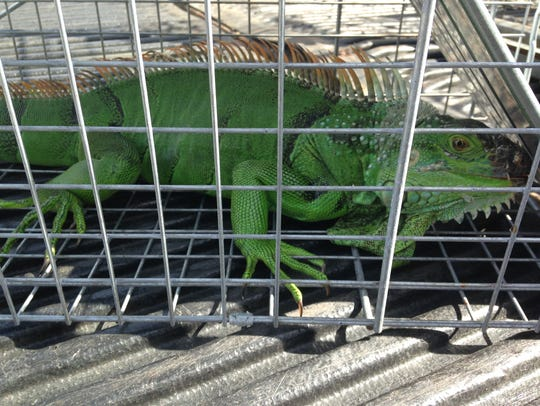 An iguana in a cage after being caught by a wildlife trapper in Cocoa Beach