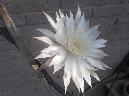 The Queen of the Night cactus has white star-like blooms.