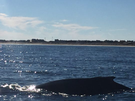 Kassidy Kawa of Brick, photographed this humpback whale which surprised her fishing party off Bay Head on Nov. 8, 2015.