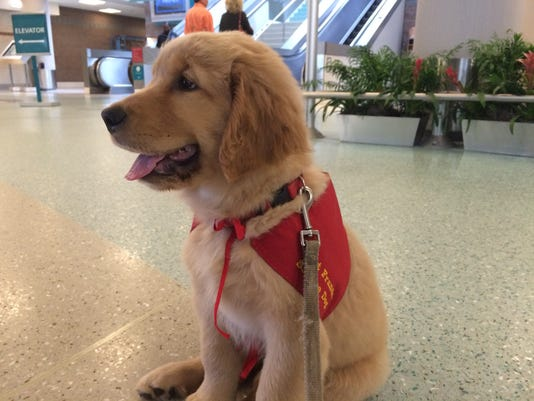 Golden Retriever puppy in Pups for Flights gear