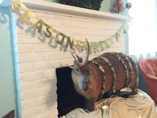 Did I say I was going to find Christmas decorations? Because Beth found them. And then she put them all on our capybara.