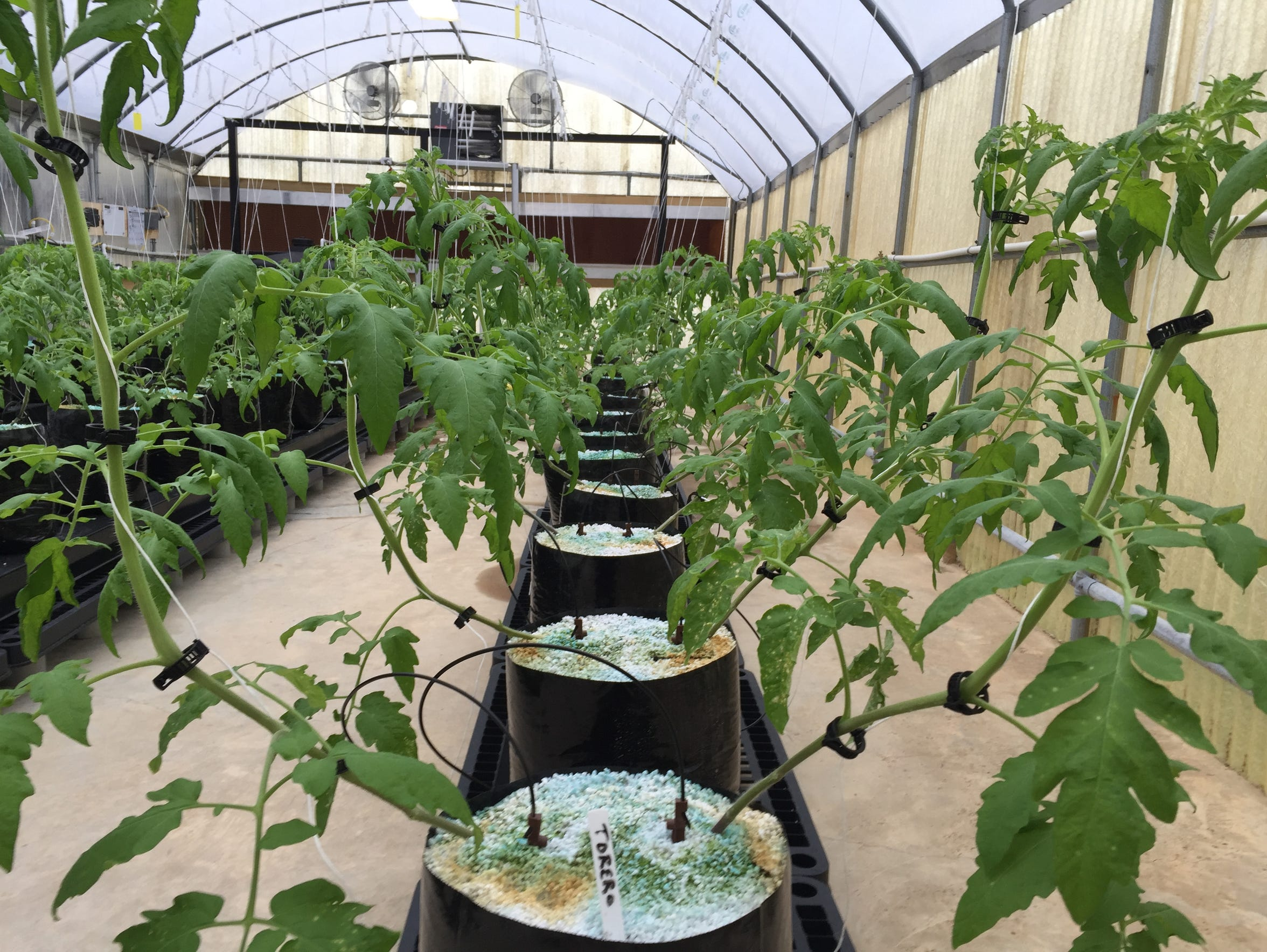 Tomato plants grow in perlite as part of the Richland