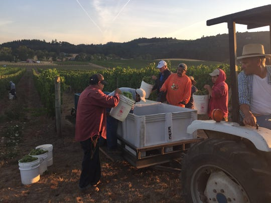 Workers begin harvesting chardonnay grapes at Eola Hills Wine Cellars' Wolf Hill Vineyard early in the morning on Aug. 26, 2015.