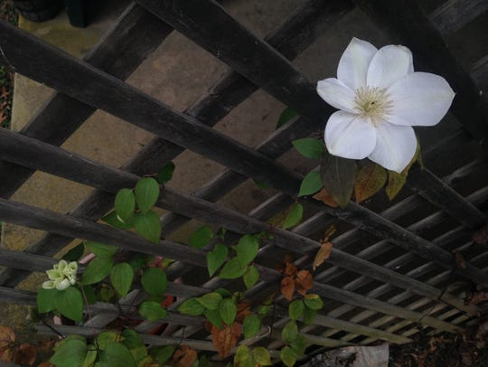 Clematis bloomed in a Dillsburg garden on Christmas.