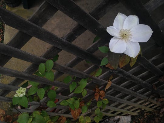 Clematis bloomed in a Dillsburg garden on Christmas. December was a weather record breaker.