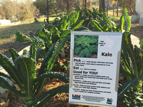 Kale grown at a community garden in Stoner Hill