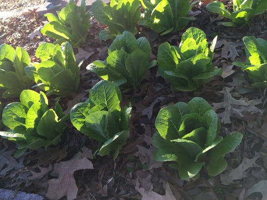 Lettuces at a community garden in Shreveport