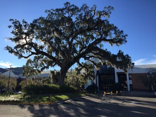 The live oak outside the LeRoy Collins Public Library as it stood last week.