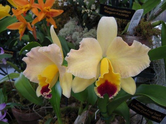 Cattleya orchids, such as this selection named Lemon