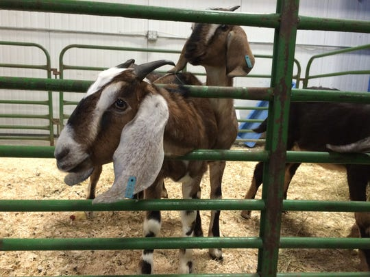 Nubian goats from Pine Island Community Farm greet visitors Wednesday at the Vermont Farm Show in Essex Junction.