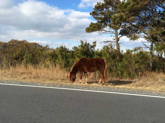 A horse grazes on Assateague Island on the morning of Feb. 11, 2016.