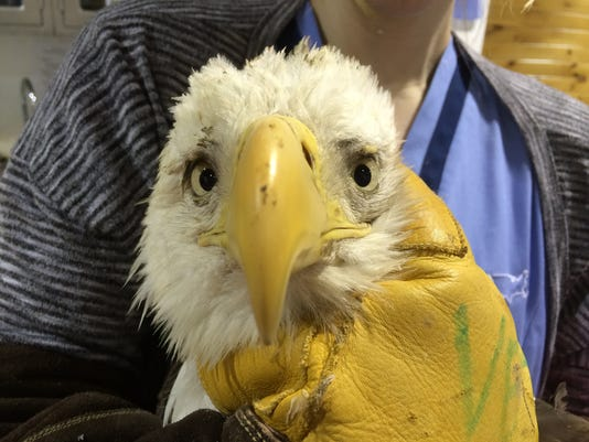 HES-submitted-022616-eagle lead poisoning.JPG