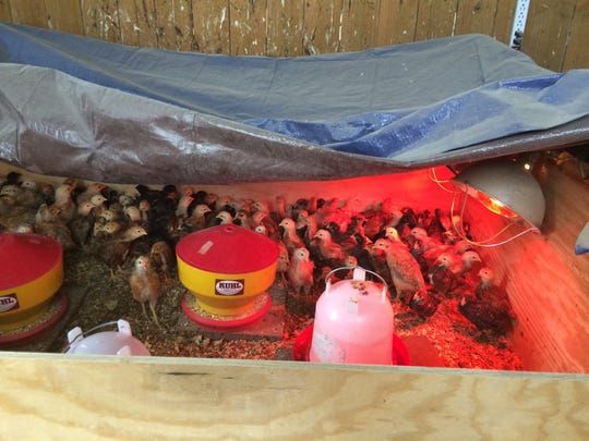 Baby chicks keep warm thanks to a heat lamp at the Hill Family Farm in White House