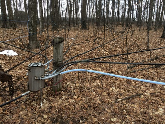 The tubing system that collects maple sap from trees
