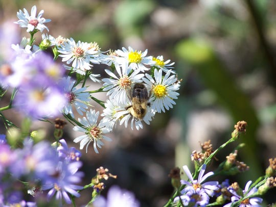 A bumblebee on native aster.