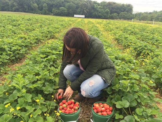 "Katie Black picks a ripe strawberry from the ""U-pick"""