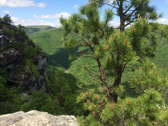 Table Mountain pine trees, a fire-adapted species, are common in Linville Gorge Wilderness.