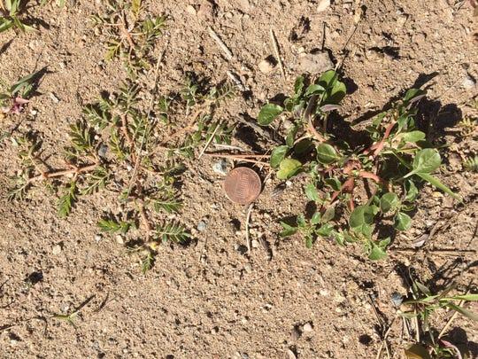 Prostrate pigweed seedling