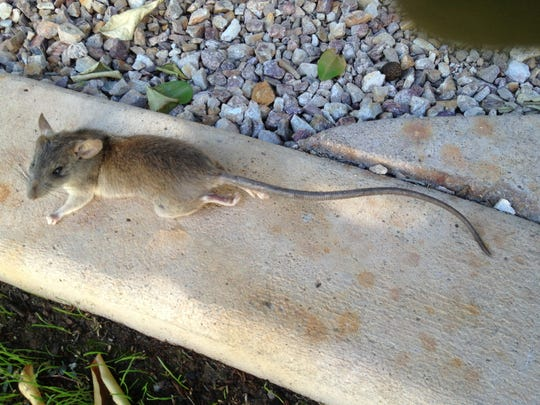 This roof rat was caught out in the open on paving.