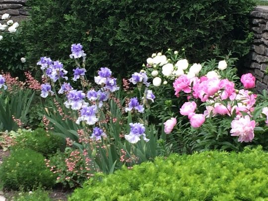 Coral bells, irises and peonies were in full bloom