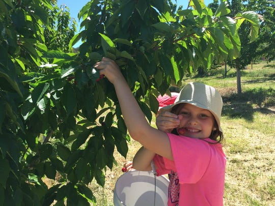Rachel Baudo, daughter of Nate and Gillian Baudo of Ruidoso, picks cherries at the Nichols Ranch and Orchard in La Luz. They're ripe right now.