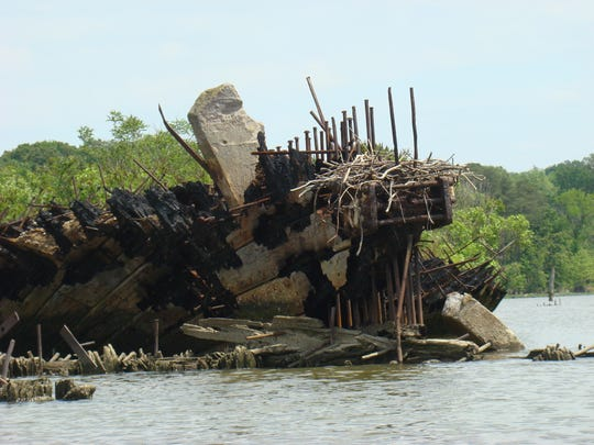 Nest on historic wreckage in Mallow's Bay.