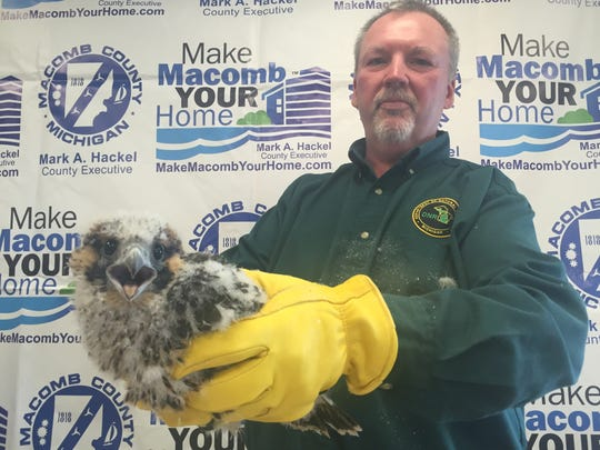 Grace, a peregrine falcon chick born atop the old Macomb County building in downtown Mt. Clemens, squawks after being banded June 10, 2016. She is held by Terry McFadden, a wildlife biologist with the Michigan Department of Natural Resources.