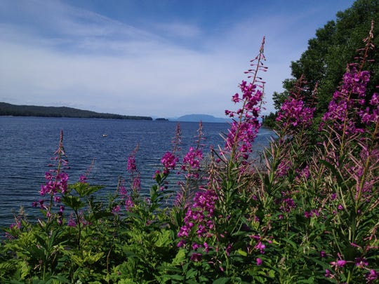 Fireweed along the shore near Ketchikan, Alaska, July