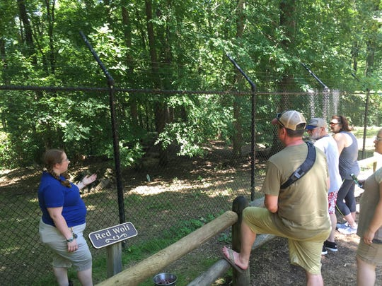 A female red wolf rises to catch a meat treat tossed over the fence by Monica Main, a staff naturalist with Friends of Land Between the Lakes, tells visitors about the highly endangered red wolf at LBL's Nature Station. Visitation was up more than 20 percent over last year at the venue.