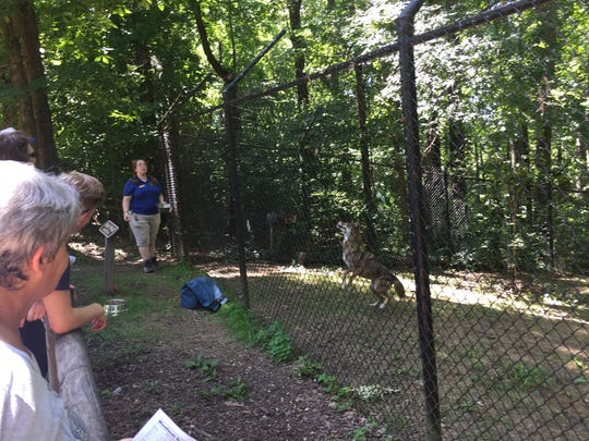 A female red wolf rises to catch a meat treat tossed over the fence by Monica Main, a staff naturalist with Friends of Land Between the Lakes.