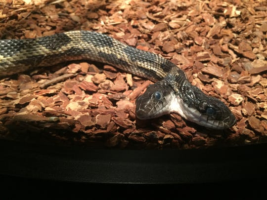 The two-headed snake at he Mississippi Museum of Natural Science can now stretch out in a new cylindrical case.